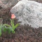 Greigi tulp ja punane kukahari Tuula kiviktaimlas