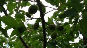Pildil aprikoosipuu viljad Kakumäel juuni kuus. Puu kannab saaki igal aastal ja kasvab jõudsalt. Põhjus pehme kliima, sobiv istutuskoht, hea muld, hooldus ja regulaarne väetamine.