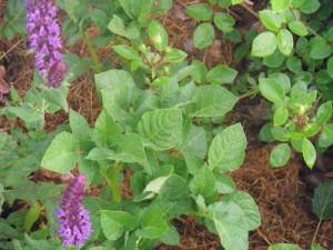 kartulikavatus roosipeenras